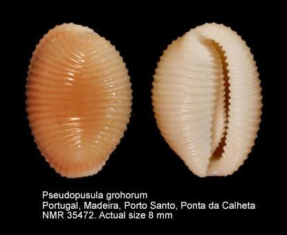 Trivia grohorum
