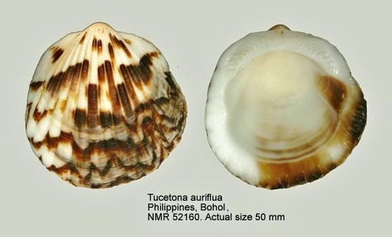 Tucetona auriflua