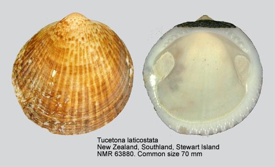 Tucetona laticostata
