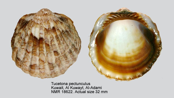 Tucetona pectunculus