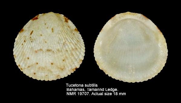 Tucetona subtilis