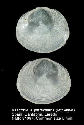 Vasconiella jeffreysiana