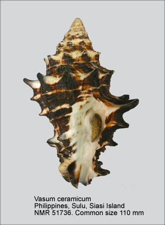 Vasum ceramicum