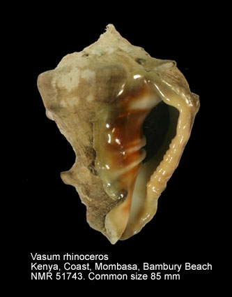 Vasum rhinoceros