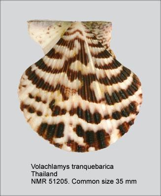 Volachlamys tranquebaria