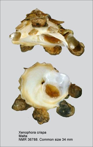 Xenophora (Xenophora) crispa