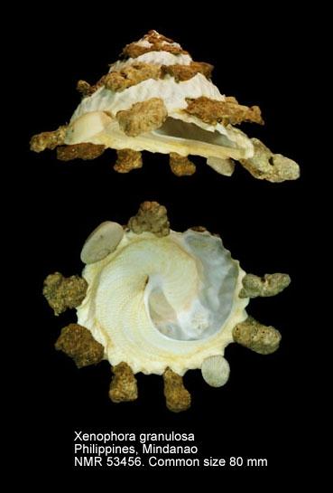 Xenophora (Xenophora) granulosa