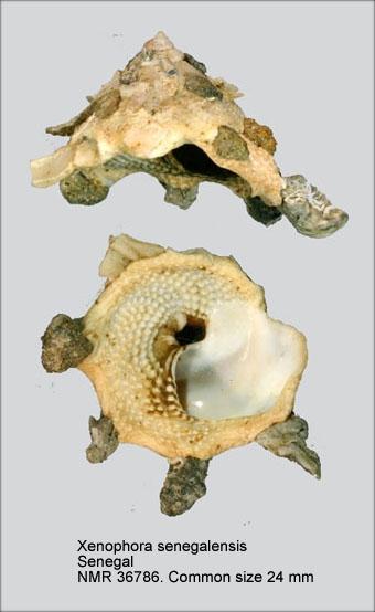 Xenophora (Xenophora) senegalensis