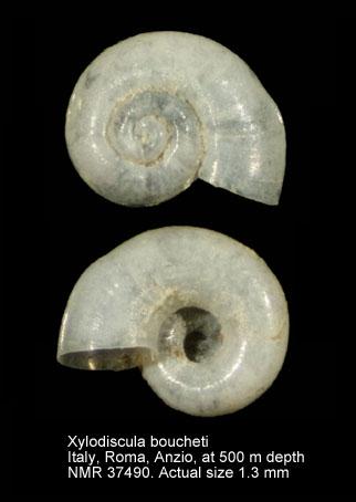 Xylodiscula boucheti