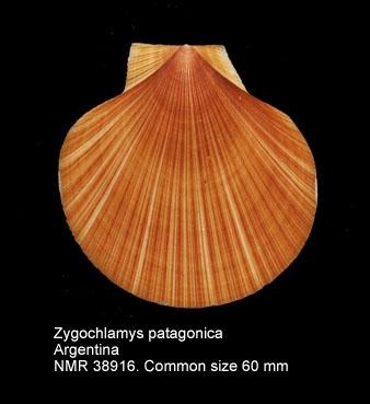 Zygochlamys patagonica