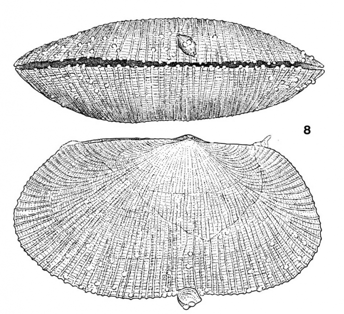 Galeomma coalita Gofas, 1991Ventral view and lateral view of right side of the holotype from Caotinha, Angola (actual length: 10.6 mm). Note attached dwarf male on the ventral margin