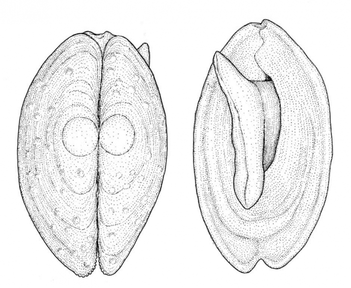 Coleoconcha opalina Barnard, 1964Dorsal and ventral views of a preserved syntype from South African Museum (actual length 3.0 mm, anterior end up)