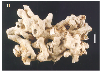 Geodia tumulosa Holotype