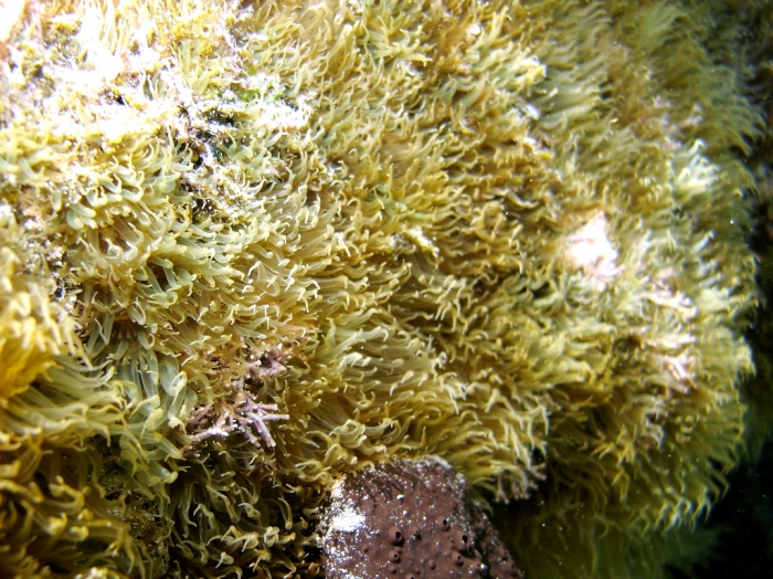 Aiptasia diaphana