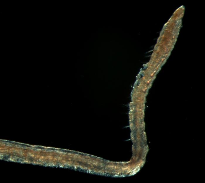 Levinsenia gracilis