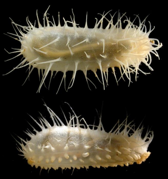 Oneirophanta mutabilis mutabilis