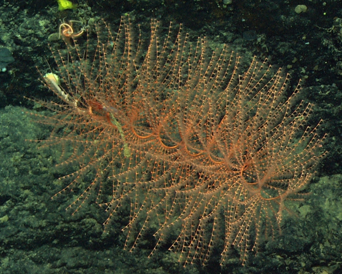 Iridogorgia splendens