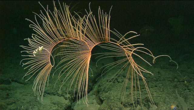 Iridogorgia magnispiralis
