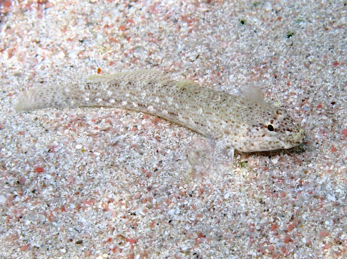 Gobius bucchichi