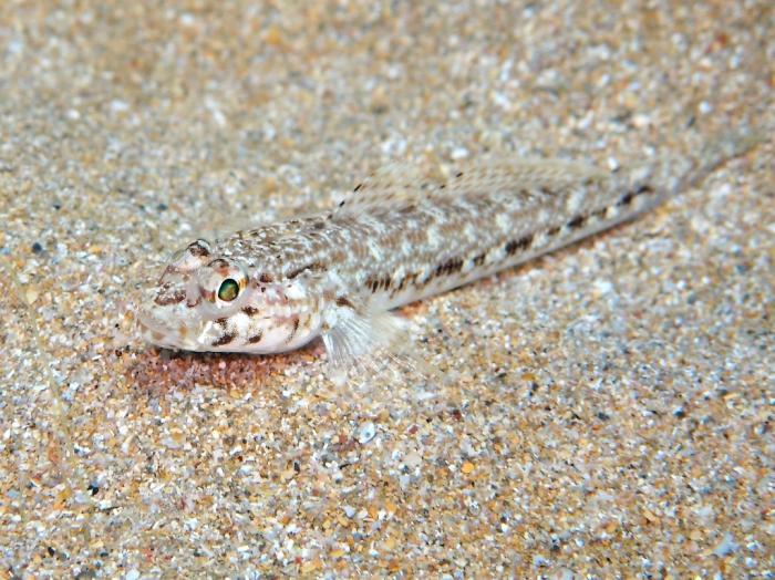 Gobius geniporus (juvenile)