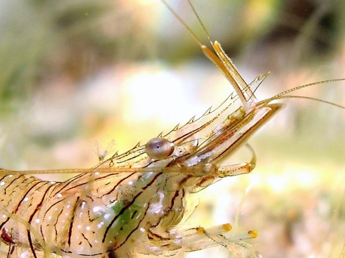 Palaemon elegans: detail of the rostrum