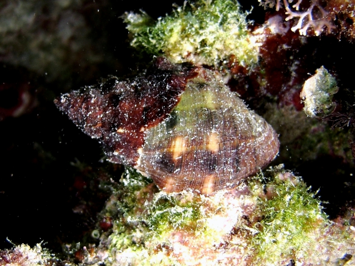 Stramonita haemastoma