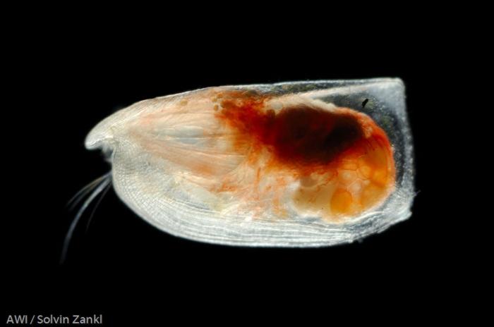 Paramollicia rhynchena
