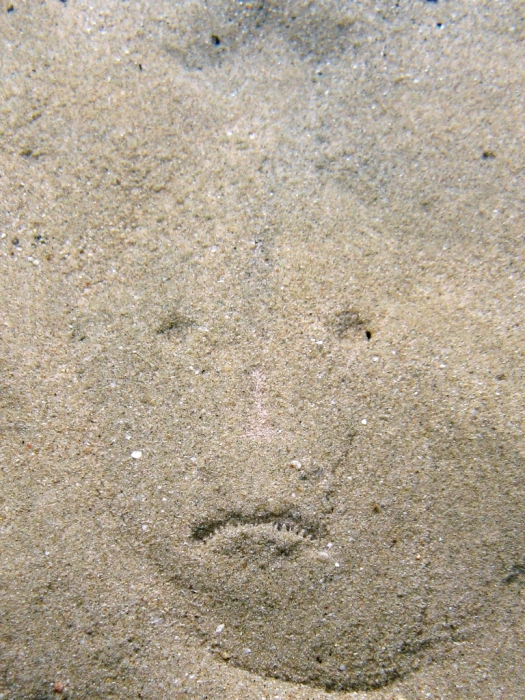 Uranoscopus scaber under the sand