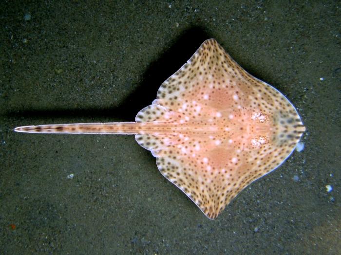 Raja brachyura (juvenile)