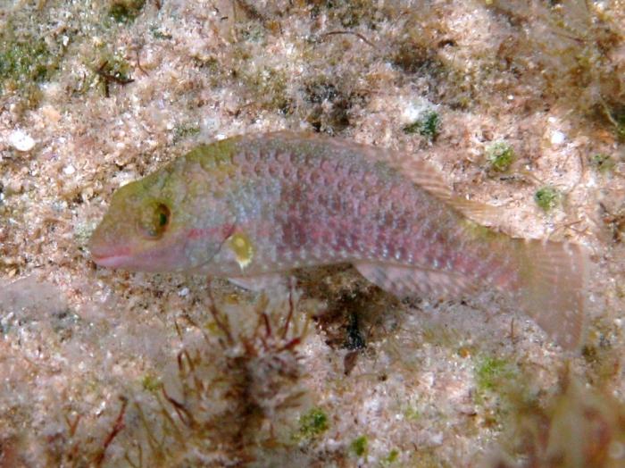 Sparisoma cretense (juvenile)