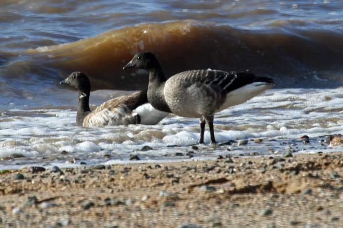 Brent Goose (Branta bernicula)