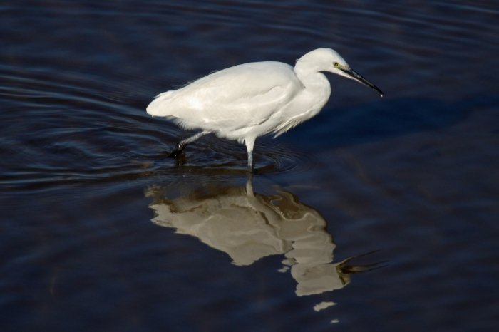 Little egret (Egretta garzetta)