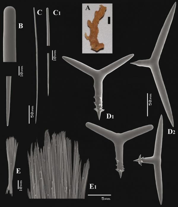 Trikentrion africanum Van Soest, Carballo & Hooper, 2012