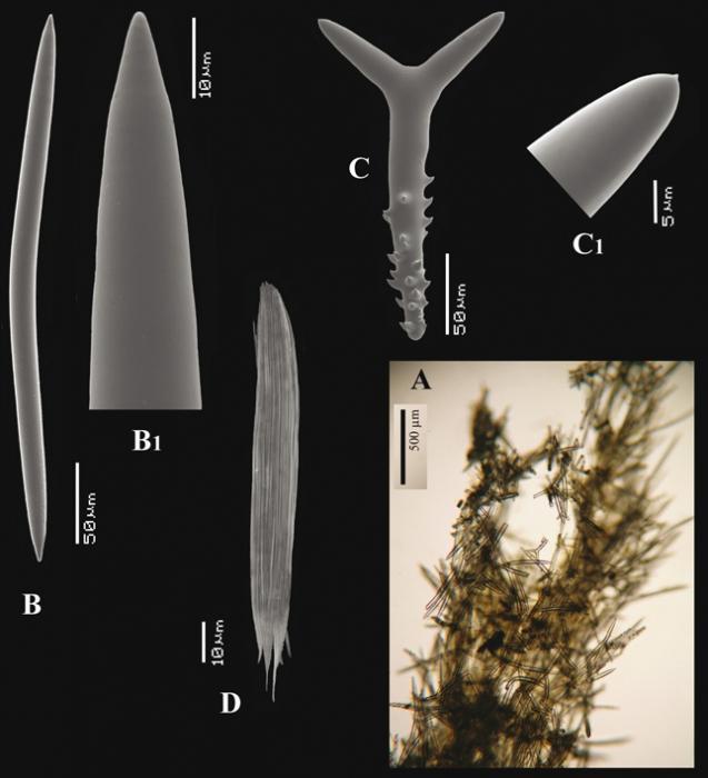 Trikentrion muricatum (Pallas, 1766) skeleton