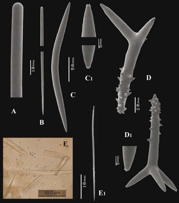 Trikentrion flabelliforme, spicules