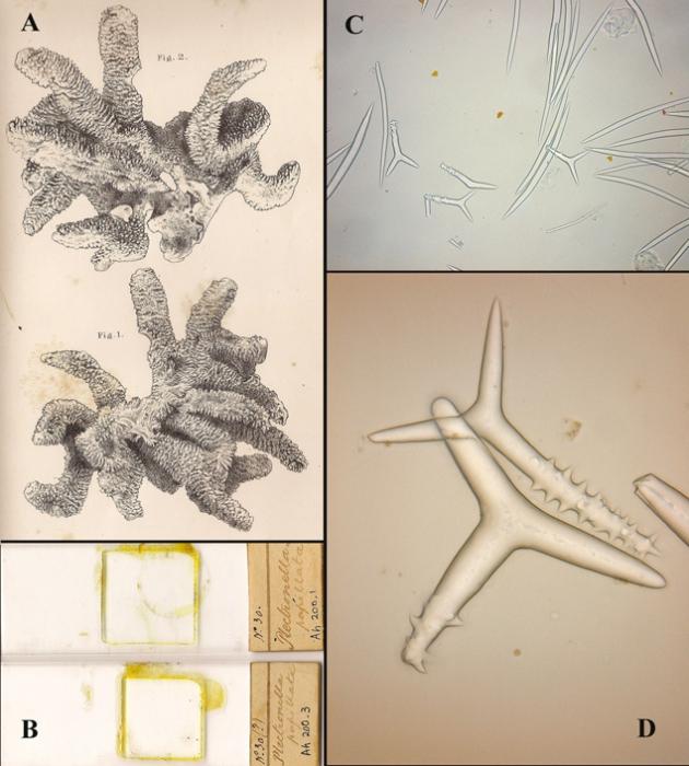 Plectronella papillosum Sollas, 1879