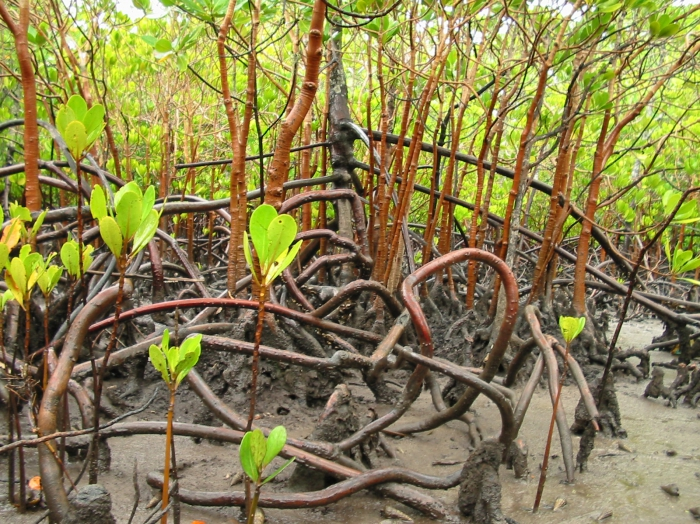 Mangrove propagules
