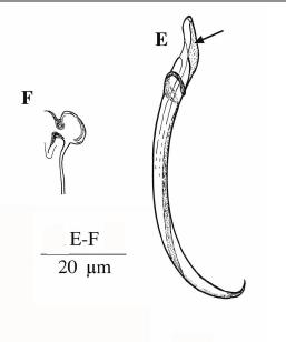 Limipolycystis falx