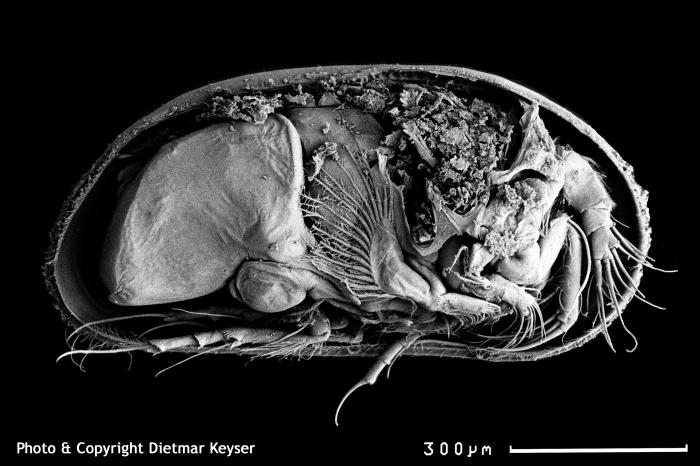 Cyprideis torosa (male)