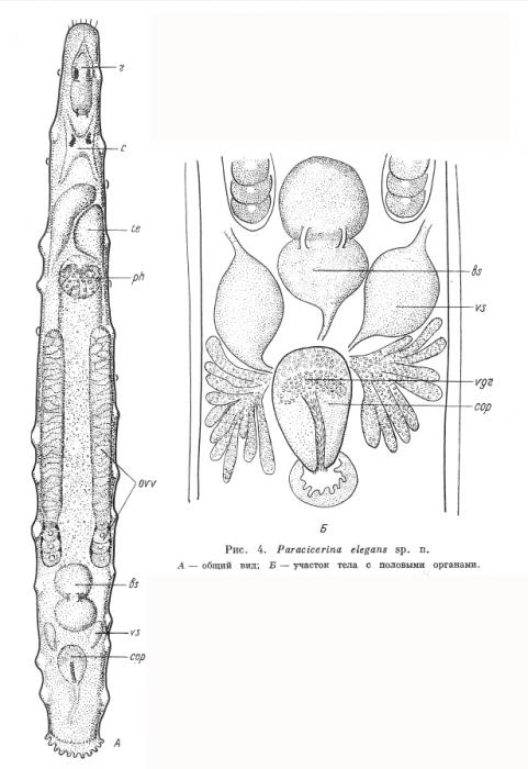 Paracicerina elegans