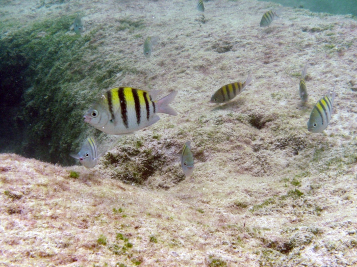 Abudefduf saxatilis