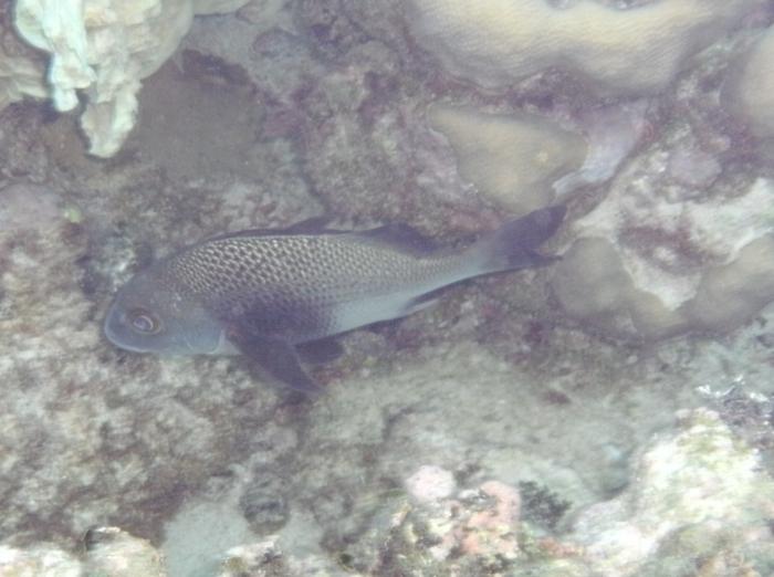 Anisotremus surinamensis