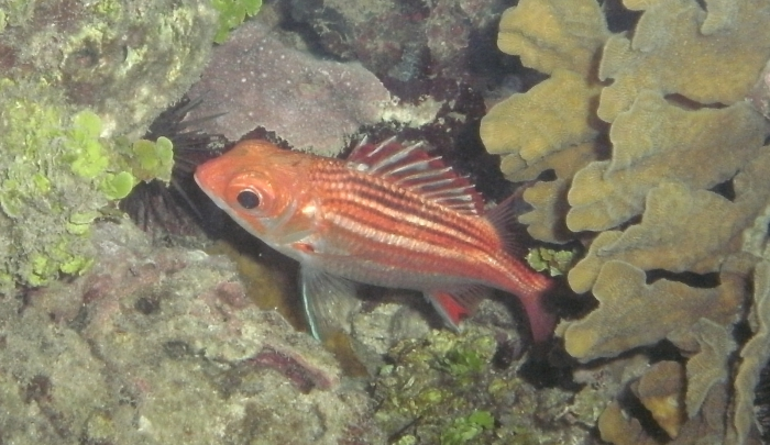 Sargocentron vexillarium