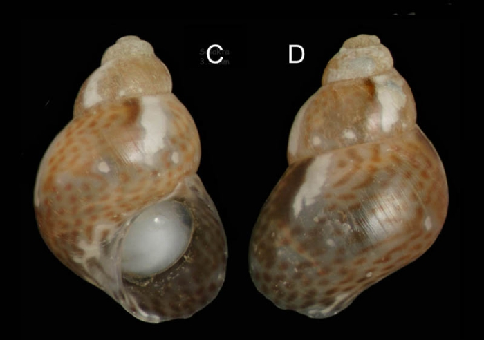 Tricolia tenuis (Michaud, 1829)Specimen from Salakta, Tunisia, actual size 3.5 mm.