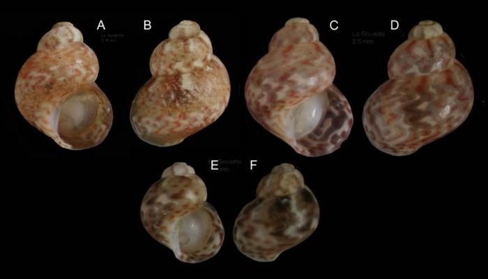 Tricolia miniata (Monterosato, 1884)Specimens from La Goulette, Tunisia (among algae, 30.06.2008), actual sizes 2.5, 2.4 and 1.8mm