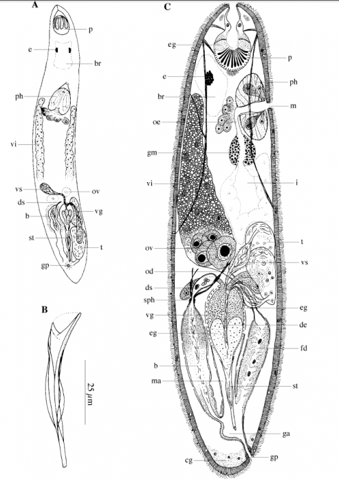 Acirrostylus poncedeleoni