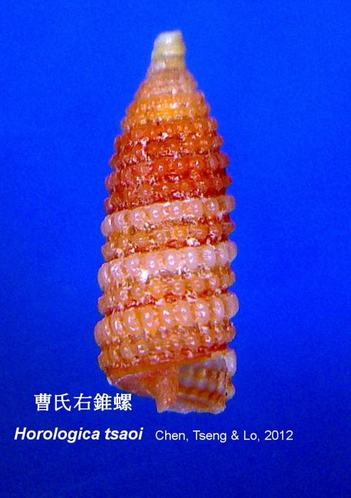 Horologica tsaoi Chen, Tseng & Lo, 2012