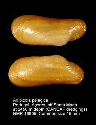Adipicola pelagica