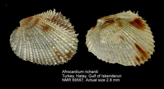 Afrocardium richardi