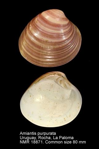 Amiantis purpurata
